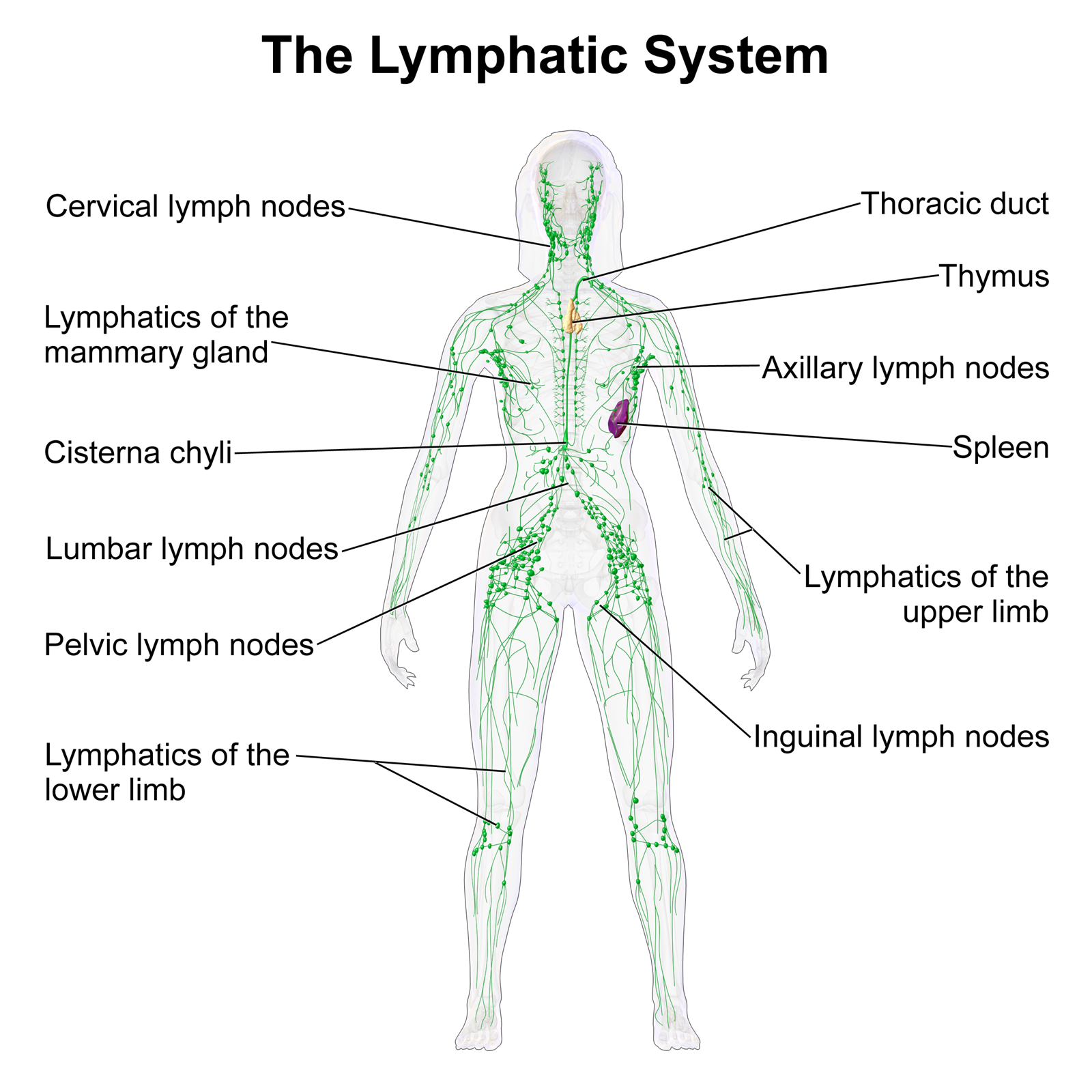 self-healing: the lymphatic system | therapies for evolution blog, Cephalic Vein